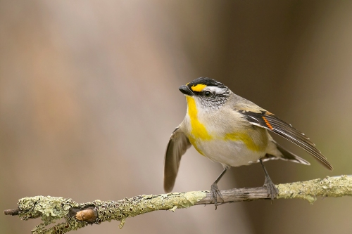 Striated Pardalote_15-10-17_34 crop