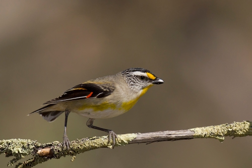 Striated Pardalote_15-10-17_39 crop