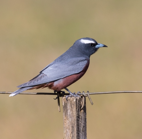 White-browedWoodswallow