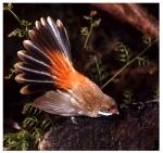 1. Rufous fantail