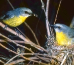 11. Eastern Yellow Robins