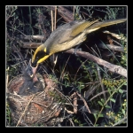 17. Yellow Tufted Honeyeater 2