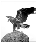18. Wedgetail Eagle 1