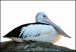 20. Pelican