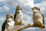 22. Kookaburras
