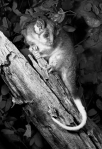 24. Ringtail Possum