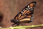 28. Wanderer Butterfly