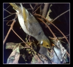 29. White Plumed Honeyeater