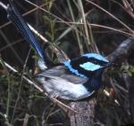 4. BlueWren