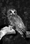 5. Boobook Owl