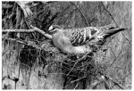 6. Bronzewing Pigeon