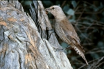 7. Brown Treecreeper