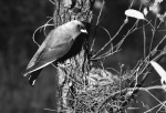 9. Dusky Woodswallow 2
