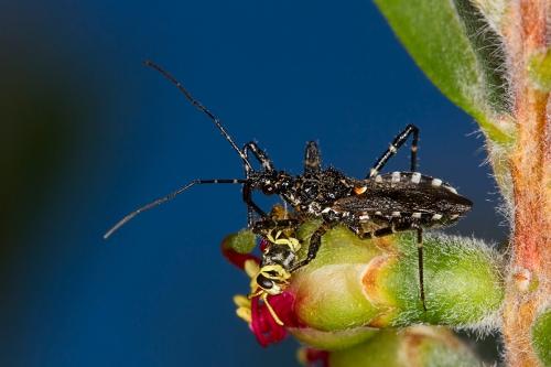 Assassin Bug on Callistemon_15-11-15_6 crop