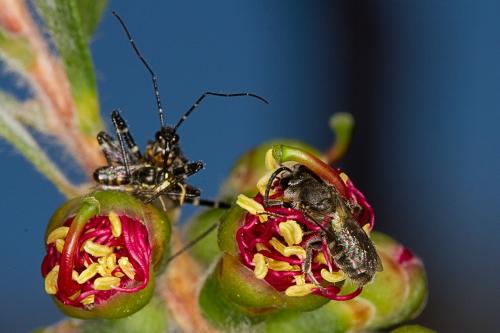 Bee & assassin on Callistemon_15-11-15_2 crop