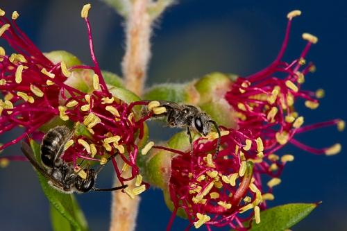 Bees on Callistemon_15-11-15_5 crop