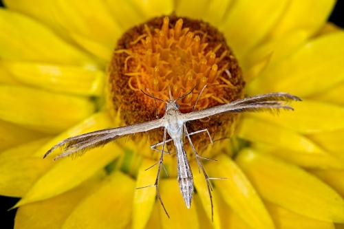 Plume Moth_15-11-01_11 crop