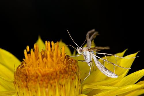 Plume Moth_15-11-01_8 crop