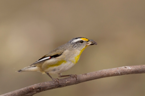 Striated Pardalote_15-11-02_1 crop