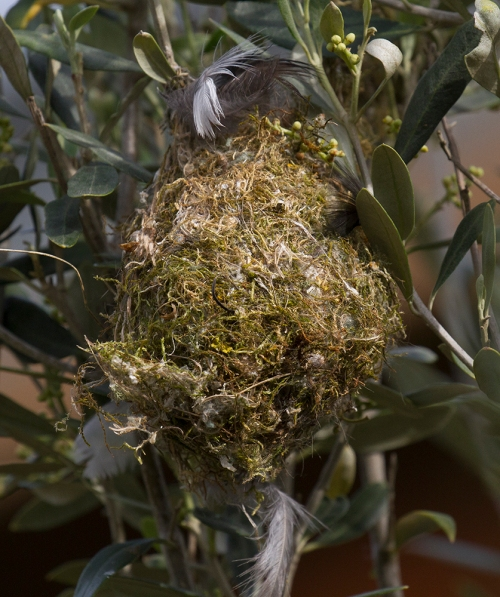 Yellow Thornbill nest_15-11-08_1