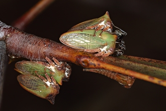 Acacia Horned Treehoppers mating