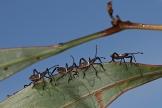 Crusader Bug instars
