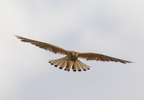 Nankeen Kestrel, Moolort Plains.