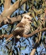 White-faced Heron, Loddon River @ Newstead, 17th December 2015.