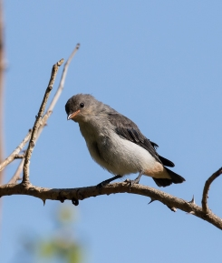 Mistletoebird (juvenile) - presumably from the previous clutch.