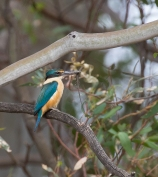 Sacred Kingfisher with a skink.