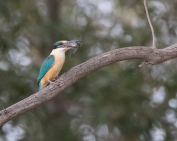 Sacred Kingfisher with cicada prey.