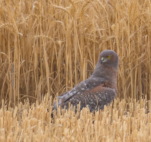 Spotted Harrier, Clarke's Lane, Moolort Plains.