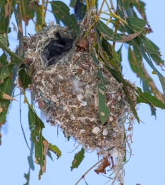 Weebill nest, Wyndham Street Newstead, 12th December 2015.