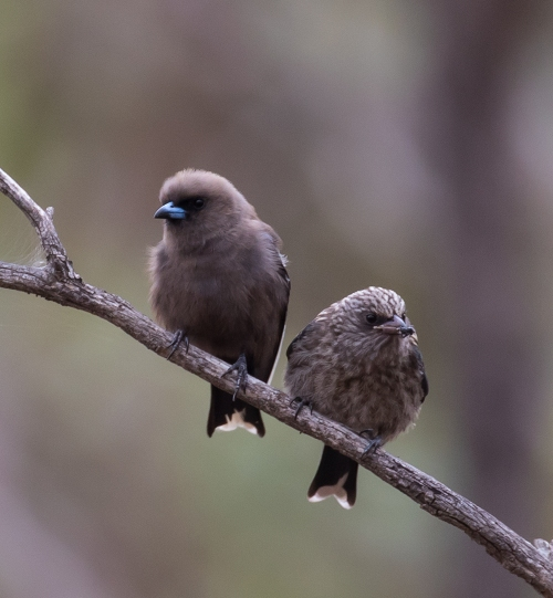 Woodswallows2