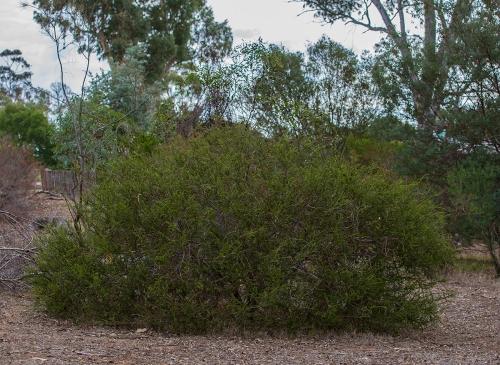Hedgewattle