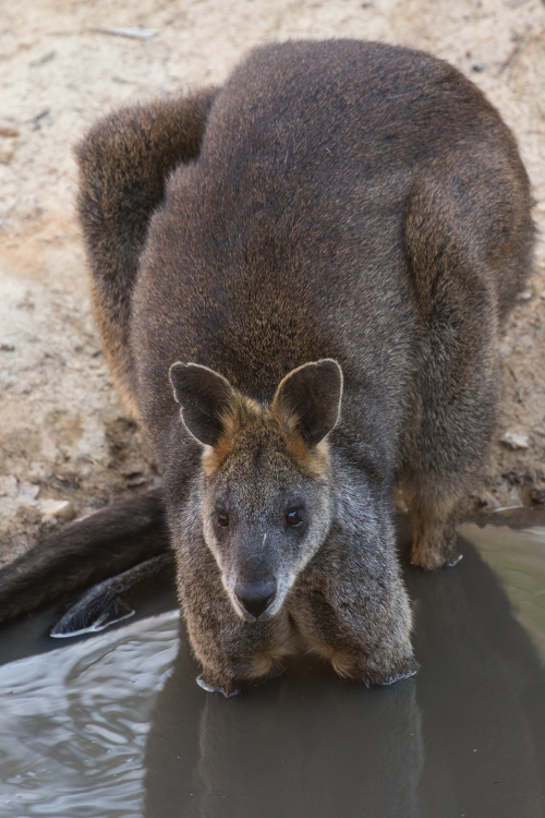 Wallaby1