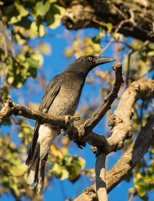 Currawong1