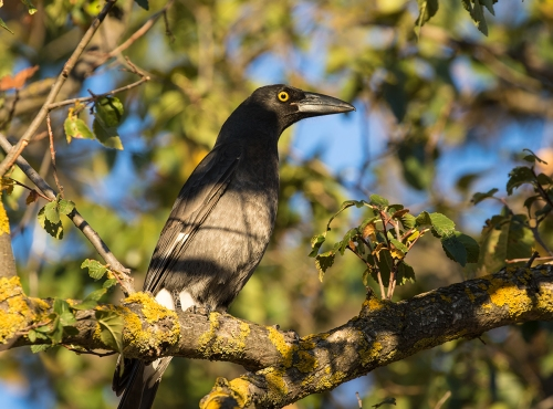 Currawong2
