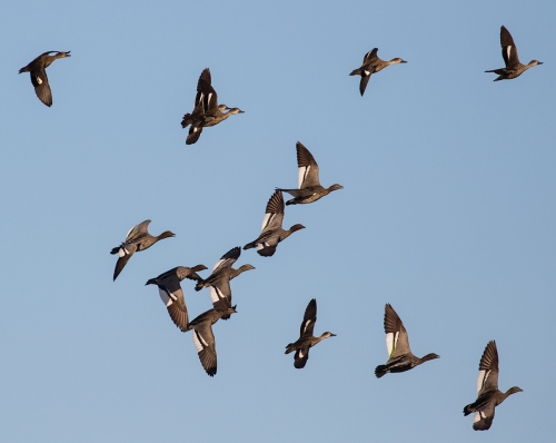 MixedDucks2