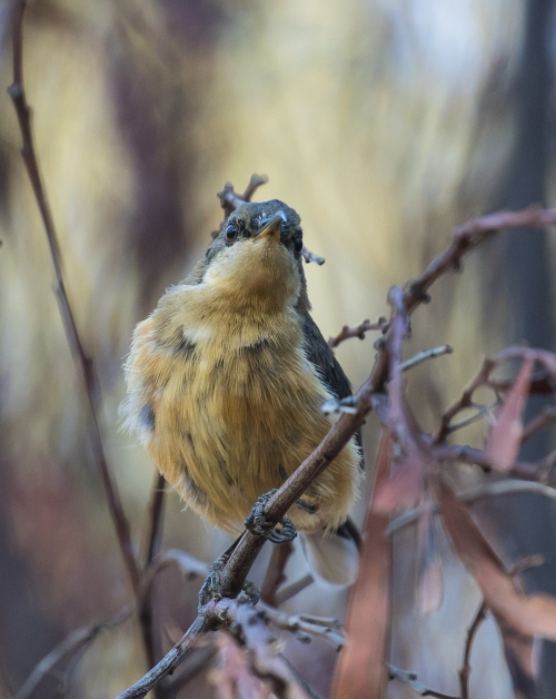 Youngspinebill