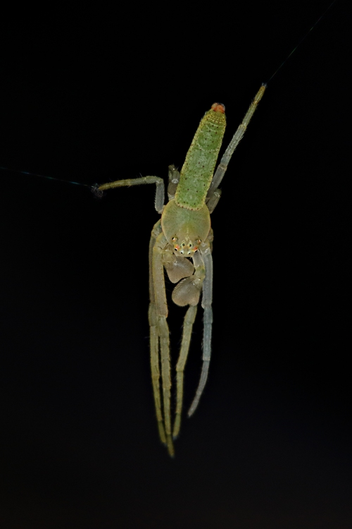 Green Orb-weaver male_16-05-06_1 crop