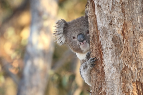 Koala_16-05-01_11