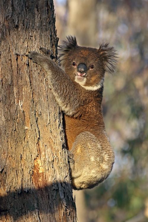 Koala_16-05-01_19