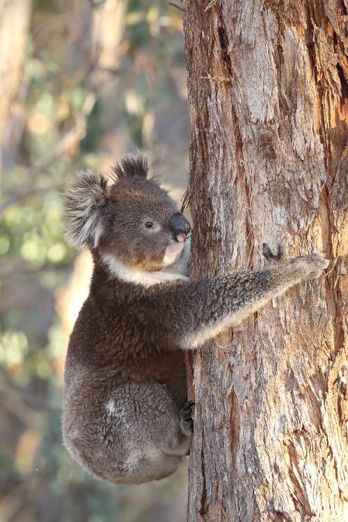 Koala_16-05-01_4 crop