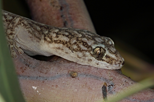 Marbled Gecko_16-05-06_4 crop