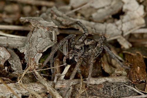 Wolf Spider_16-05-06_2