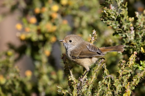 brown-thornbill_16-09-25_6-crop-jw