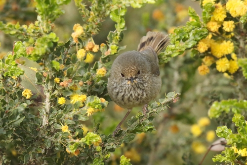 brown-thornbill_16-09-25_9-crop