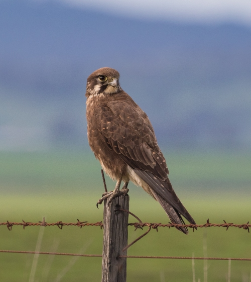 Brown Falcon, Moolort Plains, 16th September 2016
