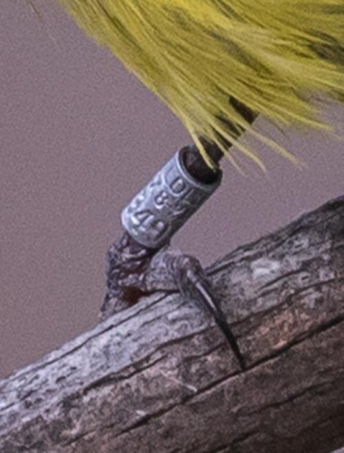 legband
